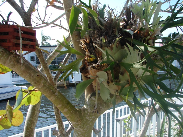 Poem - The Staghorn Fern, Father's Day